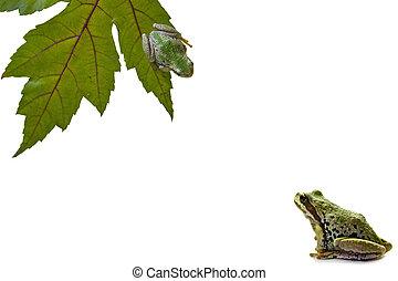grünfrosch, anschauen, noch ein, frosch