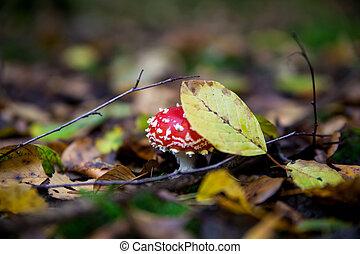 gr, きのこ, 有害, mushroom., amanita, muscaria.