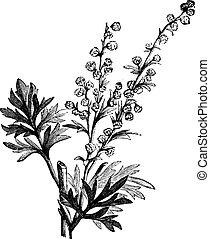 grabado, absinthe, ajenjo, artemisia, o, absinthium, planta