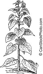 grabado, annuus, girasol, vendimia, helianthus, o