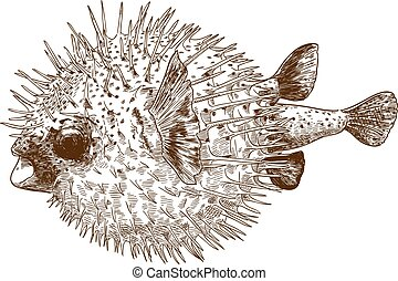 grabado, blowfish, porcupinefish, dibujo, ilustración