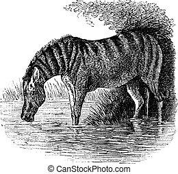 grabado, burro, vendimia, asinus, o, equus