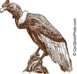 grabado, cóndor andino, ilustración, grande, dibujo