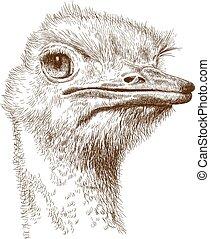 grabado, cabeza, ilustración, avestruz