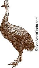 grabado, cassowary, dibujo, ilustración, avestruz
