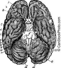 grabado, cerebro, humano, vendimia