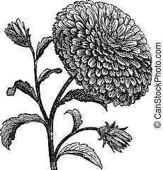 grabado, chinensis, doble, aster, o, china, vendimia, callistephus