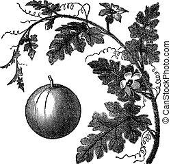 grabado, citrullus, manzana, vendimia, colocynthis, vid, ...