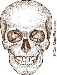grabado, cráneo, blanco, plano de fondo