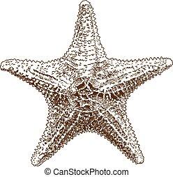 grabado, dibujo, ilustración, mar, hippasteria, estrella