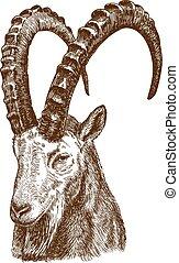 grabado, dibujo, siberiano, ilustración, ibex