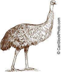grabado, emu, avestruz