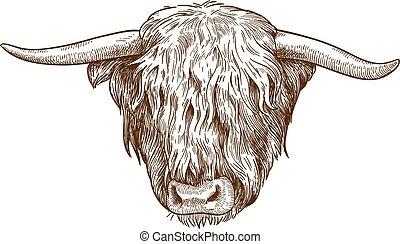 grabado, ganado, cabeza, ilustración, tierras altas
