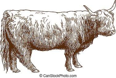 grabado, ganado, vaca, ilustración, tierras altas