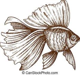grabado, goldfish, ilustración