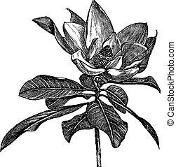 grabado, grandiflora, vendimia, magnolia, meridional, o