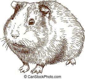 grabado, guinea, dibujo, ilustración, cerdo