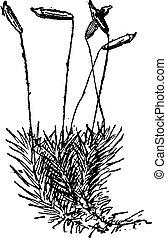grabado, haircap, comuna, vendimia, polytrichum, común, ...