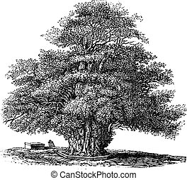 grabado, helens, inglaterra, vendimia, s., darley, árbol, o,...