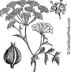 grabado, hemlock, vendimia, maculatum, conium, veneno, o
