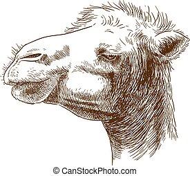 grabado, ilustración, de, camello, cabeza