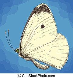grabado, ilustración, de, pequeño, col, blanco, mariposa