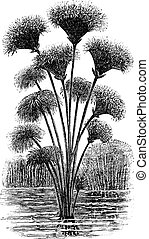 grabado, juncia, vendimia, papiro, cyperus, o