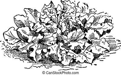 grabado, lactuca, vendimia, lechuga, espinoso, serriola, o