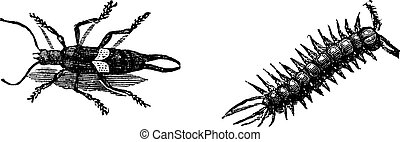 grabado, marrón, lithobius, vendimia, forficatus, o,...
