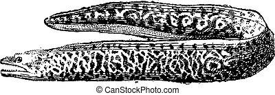 grabado, moray, vendimia, anguila, muraenidae, o