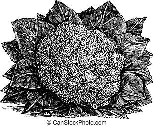 grabado, oleracea, vendimia, bróculi, brassica, o