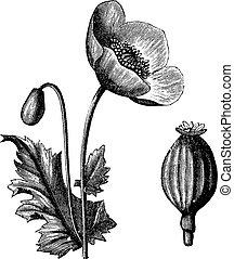 grabado, opio, vendimia, somniferum, papaver, amapola, o