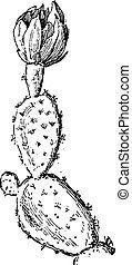 grabado, opuntia, vendimia, pera, espinoso, ficus-indica, o