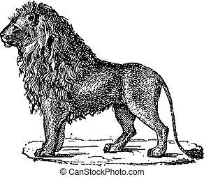 grabado, panthera leo, león, vendimia, o