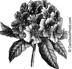 grabado, rododendro, catawbiense, vendimia, catawba, o