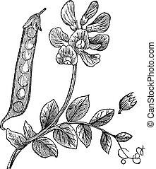 grabado, sativum, guisantes, vendimia, o, pisum