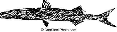 grabado, sphyraena, vendimia, sp., barracuda, o