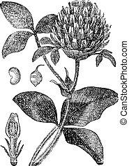 grabado, trébol, vendimia, trifolium, pratense, o, rojo