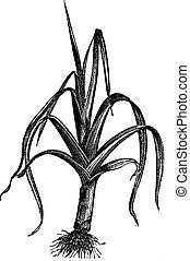 grabado, vendimia, allium, puerro, porrum, ampeloprasum, o