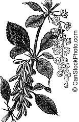 grabado, vendimia, berberis, europeo, vulgaris, barberry, ambarbaris, ictericia, o, baya