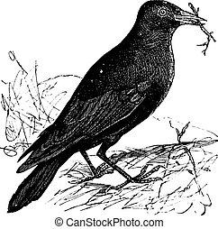 grabado, vendimia, corvus, monedula, jackdaw, o