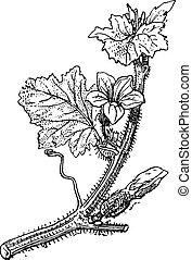 grabado, vendimia, cucumis, muskmelon, melo, o