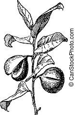 grabado, vendimia, fragrans, nuez moscada, común, myristica...
