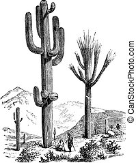 grabado, vendimia, gigantea, saguaro, carnegiea, o