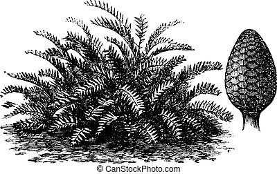 grabado, vendimia, integrifolia, o, coontie, zamia