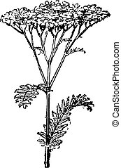 grabado, vendimia, millefolium de achillea, común,...