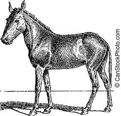 grabado, vendimia, mulus, mula, o, equus
