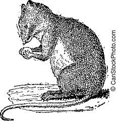 grabado, vendimia, muridae, campo, ratón, o