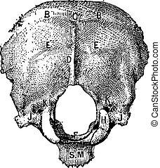 grabado, vendimia, occipital, hueso