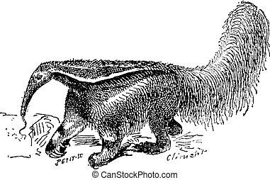 grabado, vendimia, oso hormiguero